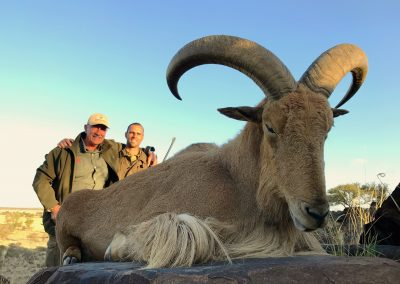 Barbary_sheep